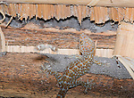 Tokay gecko, Gekko gecko, chasing a moth on the ceiling of a bamboo shelter on Atauro Island, Timor-Leste (East Timor)
