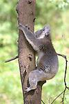 Koala, Healesville Sanctuary