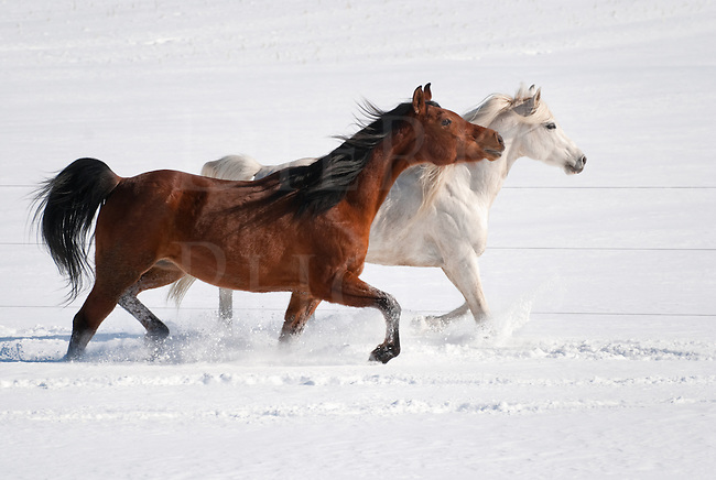 Picture of an Arabian stallion and his bay mare walking together side by side in new fallen snow.