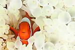 Spinecheek anemonefish (Premnas biaculeatus) in its bleaching anemone home