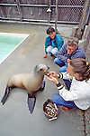 Checking Teeth Of Sea Lion