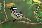 Black-throated Gray Warbler (Dendroica nigrescens) male, Santa Catalina Mountains, Tucson, Arizona, USA