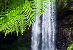 Rainforest fern at Millaa Millaa Falls.  Atherton Tablelands, Queensland, Australia