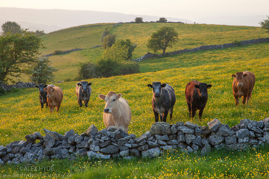 Cows in field of buttercups looking over dry stone wall. Peak District National Park, Derbyshire, UK. May.