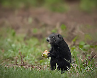 Black Ground Hog Sitting on back legs eating an apple