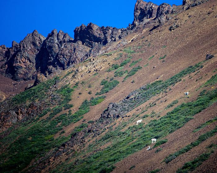 Dahl's Sheep at Denali Park