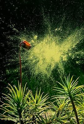 MY01-006e  Moss - spore case expelling spores, reproductive structures,  sporophyte