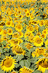 Sunflower (Helianthus annuus), common sunflower, growing in a field in the Imperial Valley along highway 86 between Brawley and El Centro, California