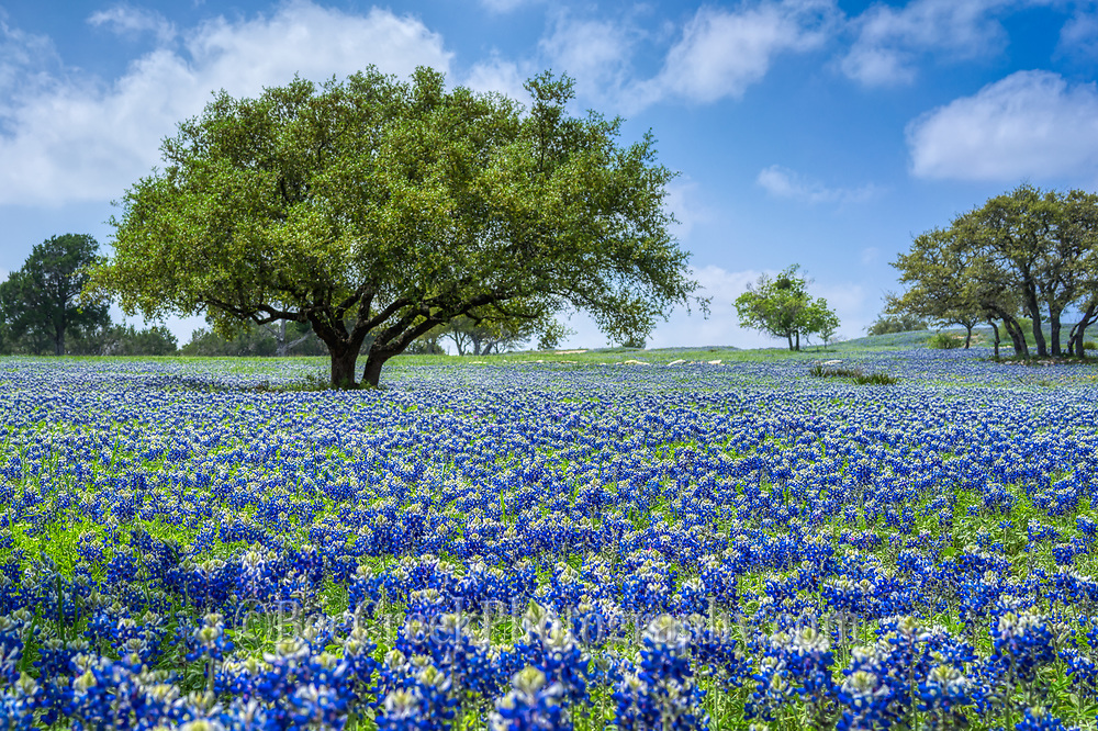 Bluebonnets on a ranch near our house, it especially nice to see this area filled in bluebonnets every year, we like this nice big oak tree to add interest with a gorgeous blue sky behind it.