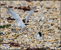 BNPS.co.uk (01202 558833)<br /> Pic: AndyMorffew/BNPS<br /> <br /> ***Please Use Full byline***<br /> <br /> Little Tern on her insulated nest...<br /> <br /> Enterprising RSPB warden John Dadds has come to the rescue of one of Britains most exposed colonies of Little terns - thanks to an inspirational trip to a DIY store and a &pound;1.75 hanging basket liner.<br /> <br /> Dadds study of the tiny colony on Chesil beach in Dorset last year had revealed that many of the birds eggs were failing to hatch, and he realised that the wind whistling through the gaps in the pebbles was cooling the eggs down to a critical level.<br /> <br /> After a visit to his local Wilkinson's and armed with a bucket of sand and 12 hanging basket liners, Dadds set to work this year to provide a more draught proof nest for the returning birds. <br /> <br /> So far 21 pairs have taken up the nests and Dadds is mounting a round the clock watch over them to see if his plan has worked.