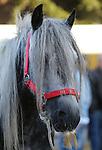 Foto: VidiPhoto<br /> <br /> ELST - De drie grote Nederlandse paardenmarkten Elst (Gld), Hedel en Zuid-Laren verkeren in grote problemen. Lage handelsprijzen, afnemende aanvoer van paarden, strengere Europese regelgeving en acties van de Dierenbescherming zorgen voor donkere wolken boven de eeuwenoude traditie van de najaarspaardenmarkt. Desondanks trekt de oudste paardenmarkt van ons land in Elst, ieder jaar zo'n 40.000 bezoekers. Naar Zuid-Laren komen zelfs 140.000 belangstellenden. Elst opende maandag het paardenmarktseizoen. Ditmaal met opnieuw fors minder aanvoer van dieren: 885 paarden en pony's ten opzichte van ruim 1200 vorig jaar. Door het plaatsen van barriers en het verspreiden van stro en hooi, is de markt in Elst opnieuw mens- en diervriendelijker. Water en voer is ruim voorhanden en dierenartsen controleren de paarden en pony's bij zowel aan- als afvoer. Vanaf volgend jaar mogen paarden niet meer direct geladen worden voor export naar het buitenland, maar moeten ze na verkoop eerst 48 uur in een overdekt verzamelcentrum verblijven. De markt overdekken is volgens marktmeester Frits Hoogveld financieel niet haalbaar. Volgens jaar moeten ook chip en paardenpaspoort dezelfde informatie bevatten. Anders mogen de dieren niet verkocht worden. De marktorganisatie is daarvoor verantwoordelijk. Paardenmarkten komen alleen in Nederland voor. Foto: Snorrepaard.