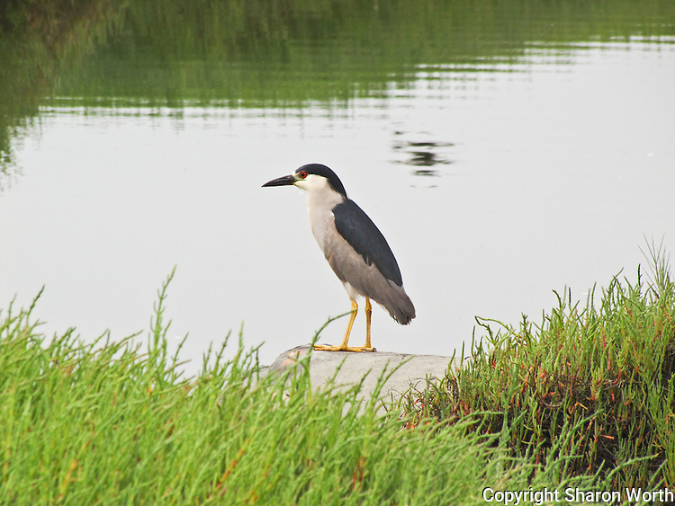 A black-crowned night heron stands and surveys the waters of the Hayward Marsh, recovered wetlands at the Hayward end of the San Mateo Bridge.