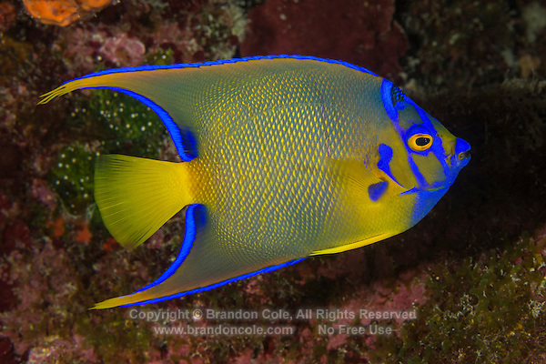 TR71011-Dr. Queen Angelfish (Holacanthus ciliaris), 3 inch long juvenile. Adults average 9 inches long, feed on sponges growing on coral reefs to 80 feet deep. Distributed from Florida through the Caribbean to the Gulf of Mexico and Brazil. Cayman Islands, Caribbean Sea.<br /> Photo Copyright &copy; Brandon Cole. All rights reserved worldwide.  www.brandoncole.com