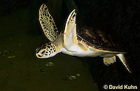 0606-0902  Atlantic Green Sea Turtle Swimming Underwater, Chelonia mydas  © David Kuhn/Dwight Kuhn Photography