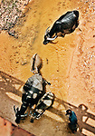 Water buffalo being led by a farmer under a bridge in Savannakhet province, Laos.