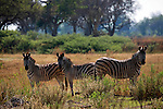 Africa, Botswana, Okavango Delta. Burchell's Zebra.
