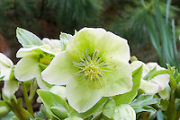Helleborus x nigercors HGC Green Corsican hellebore