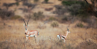 Alert Thompson's gazelles standing on the dry grassland savanna, Kenya, Africa (photo by Wildlife Photographer Matt Considine)