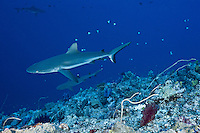 RH1043-D. Gray Reef Shark (Carcharhinus amblyrhynchos), and Whitetip Reef Shark (Triaenodon obesus) below, patrol along the edge of the reef. Palau, Pacific Ocean.<br /> Photo Copyright &copy; Brandon Cole. All rights reserved worldwide.  www.brandoncole.com