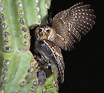 Elf Owl, Saguaro National Monument, Arizona