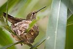 La Jolla, California; a female Anna's Hummingbird (Calypte anna) sitting on eggs in her nest