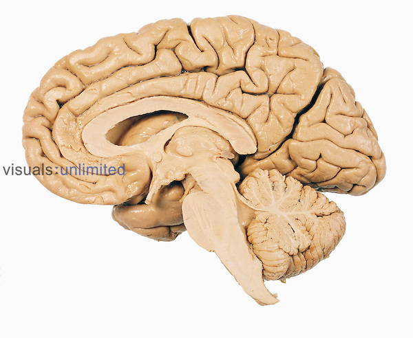 A mid-sagittal section showing the right half of the human brain, brainstem, midbrain, and cerebellum. The cerebrum is the largest part of the brain and it governs higher brain functions including thought. The cerebellum (the smaller structure on the lower right) is involved with balance and control of the muscles. The central feature is the corpus callosum, which joins the two halves of the brain together.