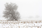 Leaning Tree in Winter Fog in Corn Field