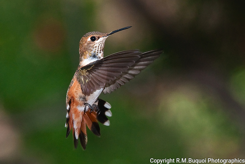 Female Rufous Hummingbird in flight