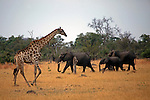 Africa, Botswana, Savute. Giraffe and Elephants of Chobe.