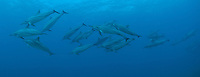 Spinner Dolphins ( Stenella longirostris ) swimming in hawaiian waters.The can jump up to 10 feet out of the water.This is a panorama image of a small pod of dolphins.