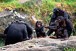 Chimpanzees, Africa