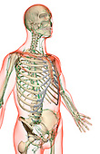 An anterolateral view (right side) of the lymph supply of the upper body. The surface anatomy of the body is semi-transparent and tinted red. Royalty Free