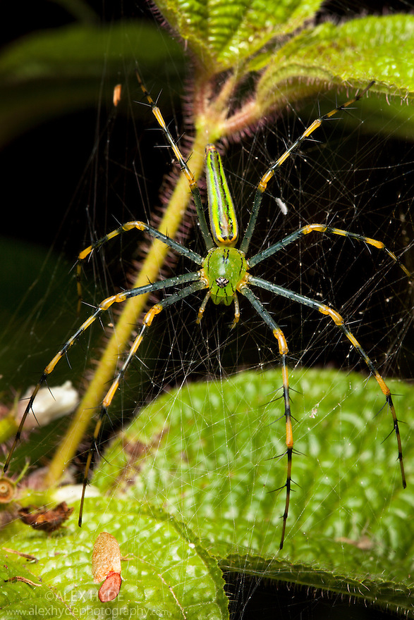 Malagasy green lynx spider {Peucetia madagascariensis} in web. Tropical Rainforest, Masoala Peninsula National Park, north east Madagascar.
