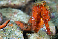Seahorses often have algae growing on their bodies to provide camouflage.  The bright colors of this seahorse matches the sponges common in Ambon.