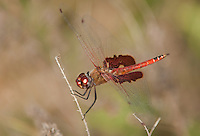 388550016 a wild male red saddlebags dragonfly tramea onusta perches on a small stick at santa ana national wildlife refuge rio grande valley texas united states