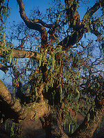 730850019 an old growth oak tree quercus species draped in moss and spaghnum grows on a hillside near lake cachuma in santa barbara county california