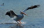 White Pelican Landing, American White Pelican, Sepulveda Wildlife Refuge, Southern California