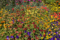 Zinnia 'Aztec Sunset mixture with purple petunias and other annual flowers