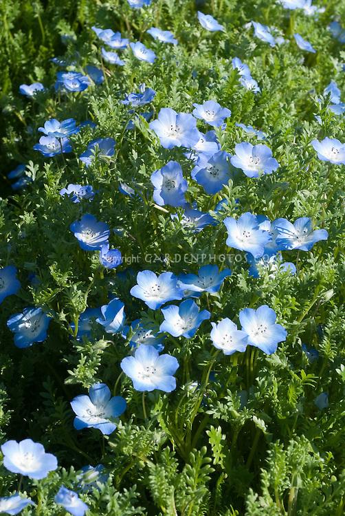 Blue flowers of Nemophila menziesii 'Baby Blue Eyes'