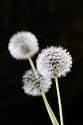 Seed heads of common dandelion (Taraxacum officinale), mid May.