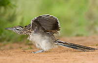 576010037 a wild greater roadrunner geococcyx califonianus performs a wing stretch in the rio grande valley texas united states