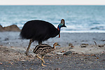 Cassowary dad and baby chick walking the beach. Dad shows by actions and his baby chick follows.