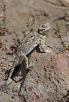 437800015 a wild southern desert horned lizard phrynosoma platyrhinos calidiarum suns on a large rock in mono county california