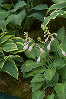 Hosta 'Little Mouse Ears' in bloom with 'Chantilly Lace' at rear
