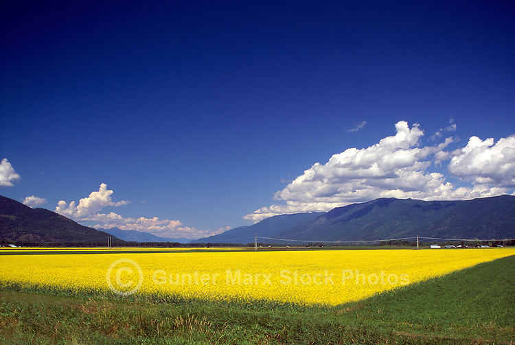 A Canola (Rapeseed) Field blooming in the Creston Valley, in the Kootenay Region of British Columbia, Canada