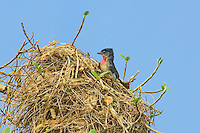 507100044 a wild male rose-throated becard pachypramphus algaiae perches on her spectacular nest on a private ranch in tamaulipas state mexico