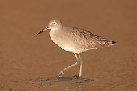Willet (Catoptrophorus semipalmatus) foraging for food with sunset colored reflection on the surf