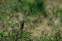 542170020 a wild roadside hawk buteo magnarostris perches on a small shrub on a private ranch in tamaulipas state mexico