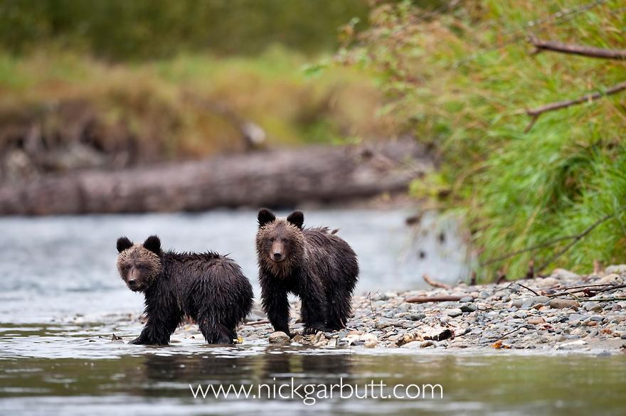 Grizzly Bear (Ursus arctos horribilis) cubs (7 months). Atnarko River, Tweedsmuir Park, British Columbia, Canada