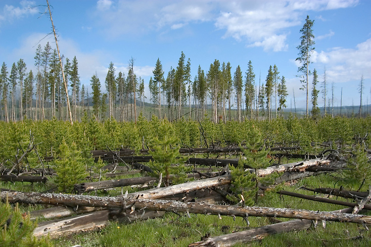 WY: Wyoming; Yellowstone National Park.In Midway Geyser Basin.Firescape of 1988 fire, lodgepole pine forest recovering from fire..Photo #: yellow1486.Photo copyright Lee Foster, 510/549-2202, lee@fostertravel.com, www.fostertravel.com..